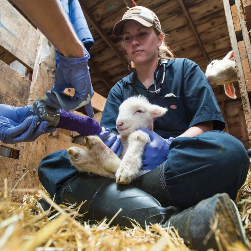 Dr. Tanya Applegate, a livestock medicine surgery resident at the CSU Vet School, holds a day-old lamb as vet student, Dalton Hindmarsh, applies duck tape to the end of a splint they put on its leg, Friday May 6, 2015, during a lambing practice at the lambing camp of the Warren Livestock Ranch in Wyoming. Photos by Richard Haro Photography. Images courtesy of Colorado State University.