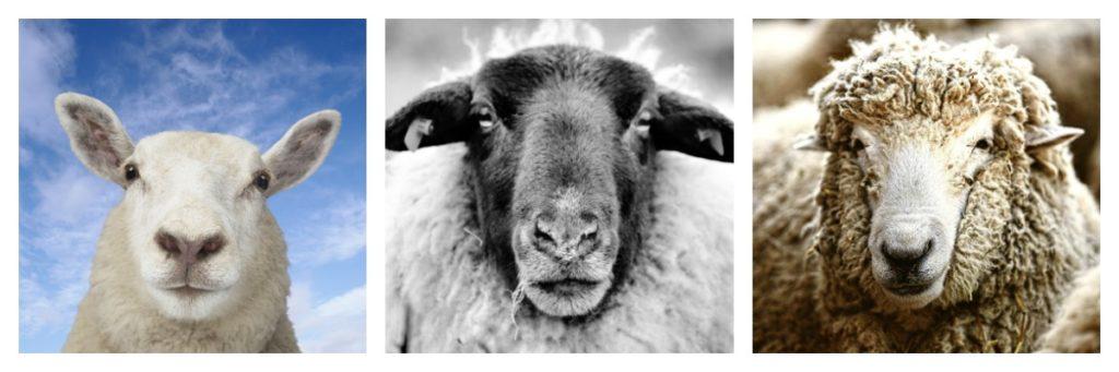Faces of Wool: Merino Sheep, Part III