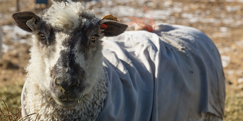 What's True Cost of a Sheep's Fleece?