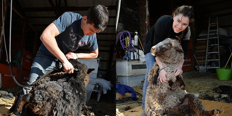 Sheep-shearing Duo: Blow by Blow
