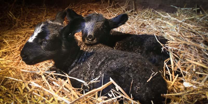 Sheep: Silver Border Leicester babies! Photos by Kate Larson