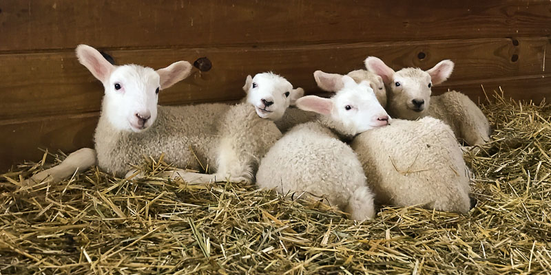 Roving Reporter: Lambing Season Arrives!