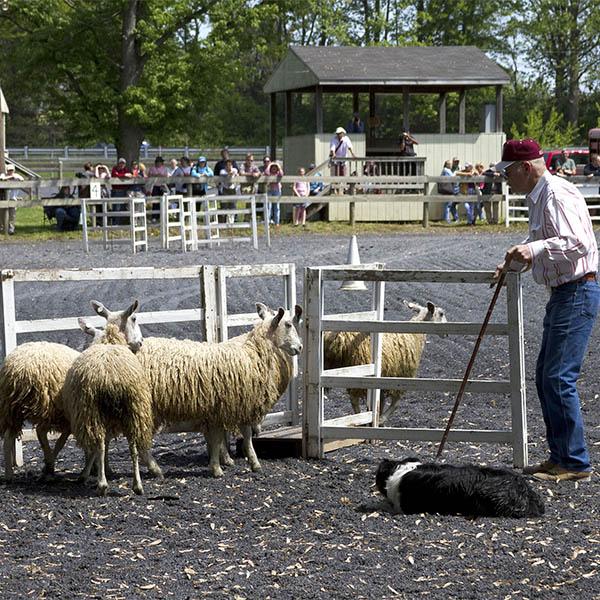 Working sheepdog demonstration by Mark Soper. Photo by Lee Langstaff.