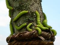 Muga Silkworms