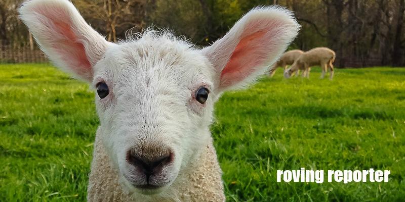 Tales of Silver Lambs: Naturally Colored Sheep