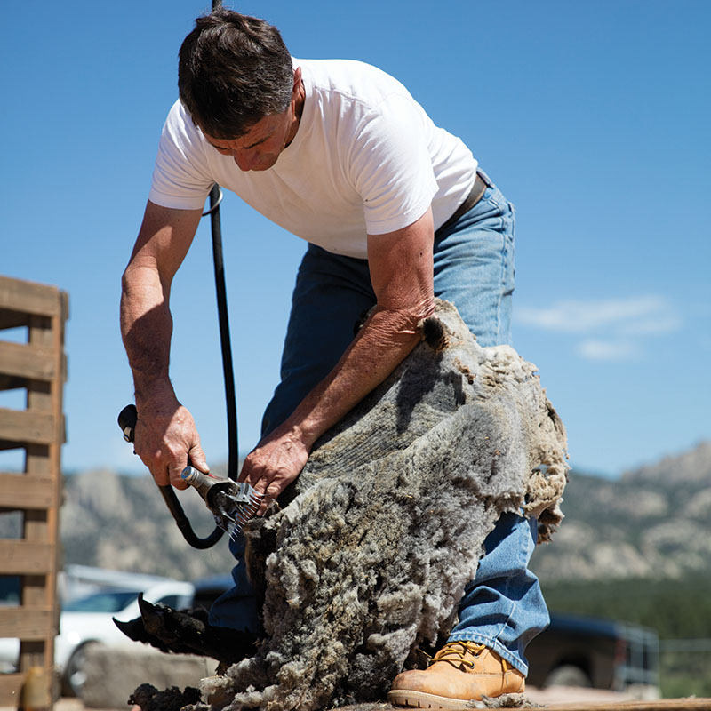 Wool Festival on a Budget: Watch the sheep shearing