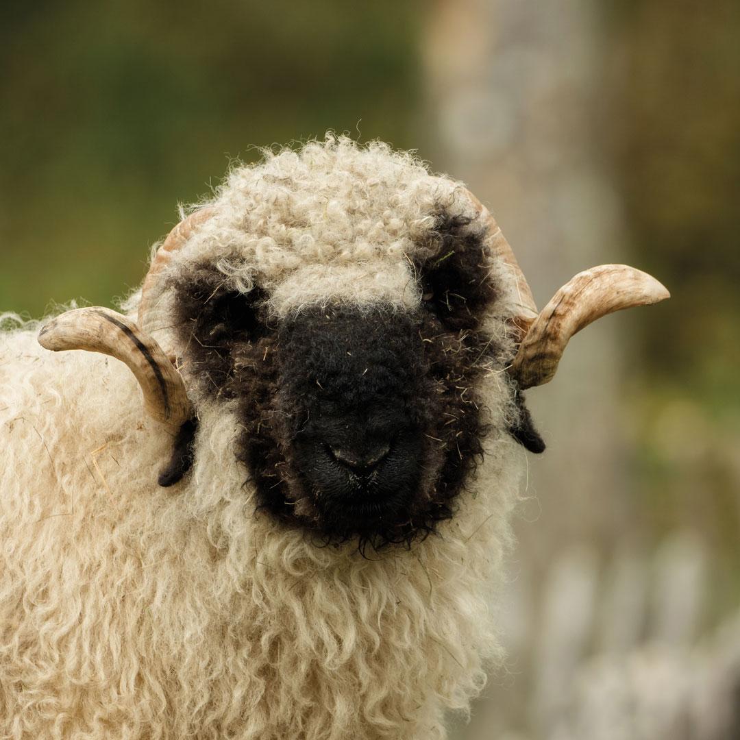import wool