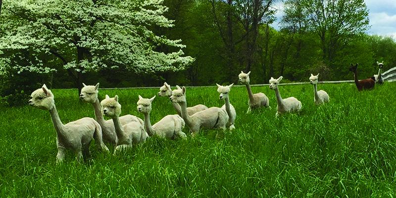 American-Grown Alpaca: Creating Sustainable Luxury with Lynn Edens