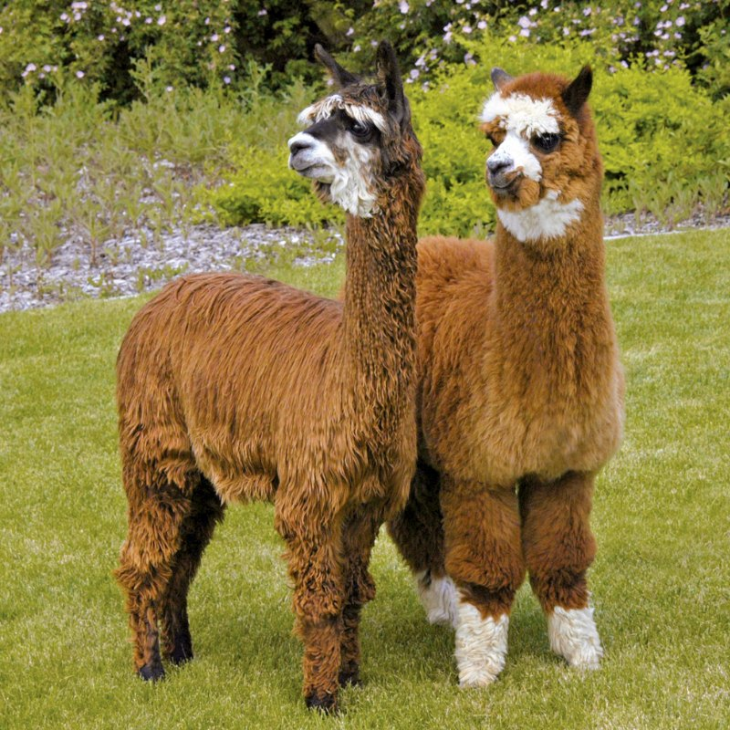 Natural Fiber Extravaganza in Tennessee. PHOTOS COURTESY OF THE ALPACA OWNERS ASSOCIATION