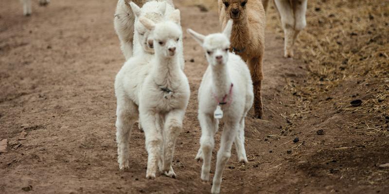 Washing Wool: Alpaca Edition