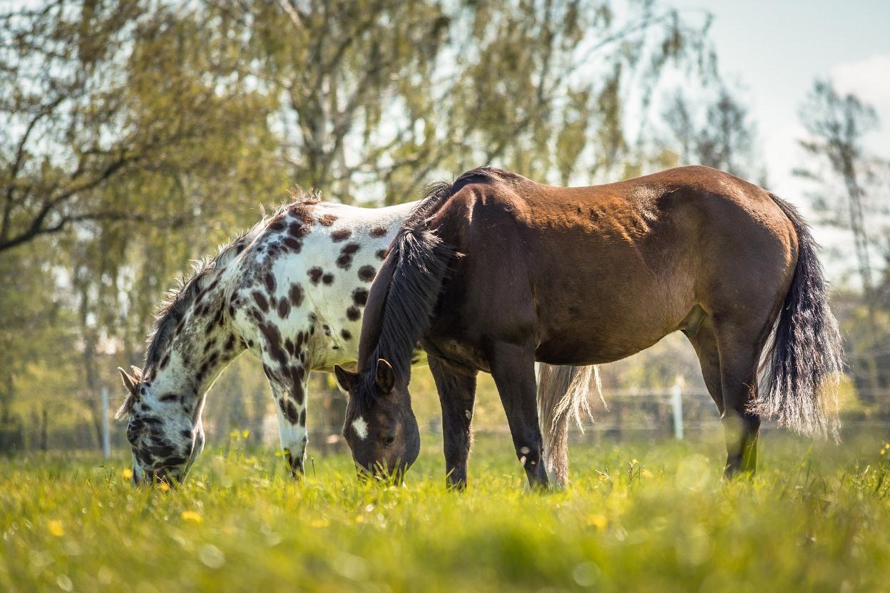 Appaloosa horses; photo: Sven Lachmann/Pixabay