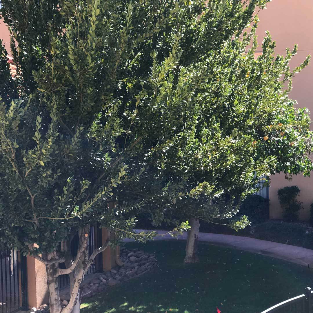 hotel grapefruit tree