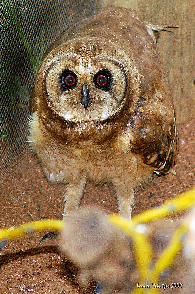 marsh-owl