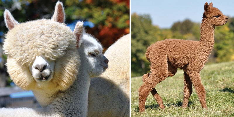 american-grown alpaca
